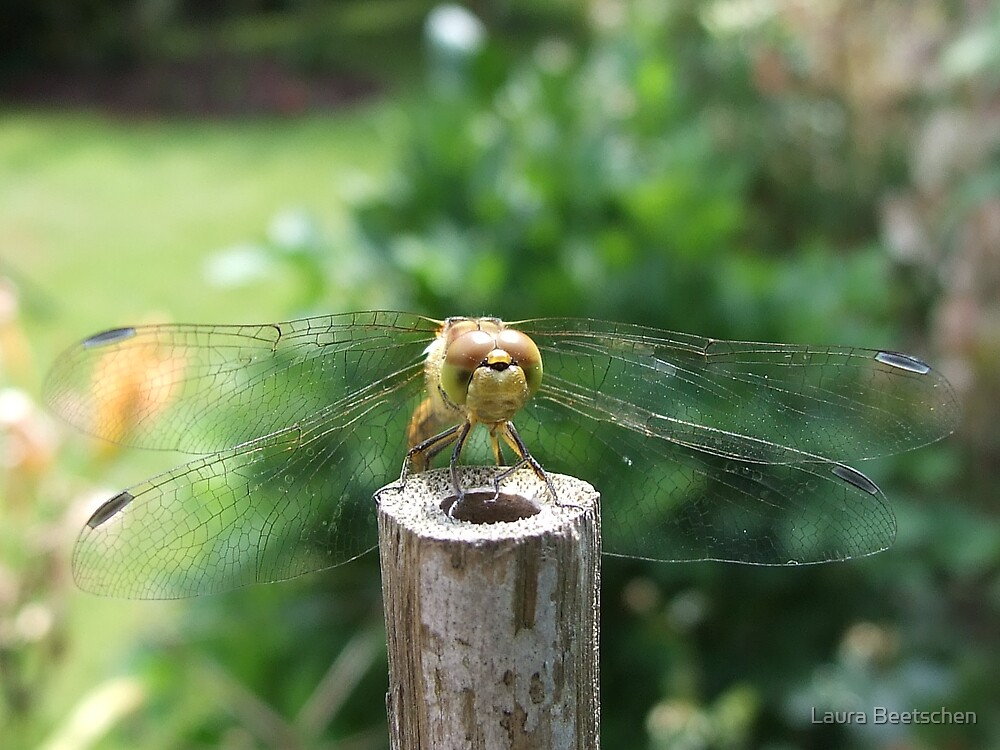 Dragonfly by Laura Beetschen