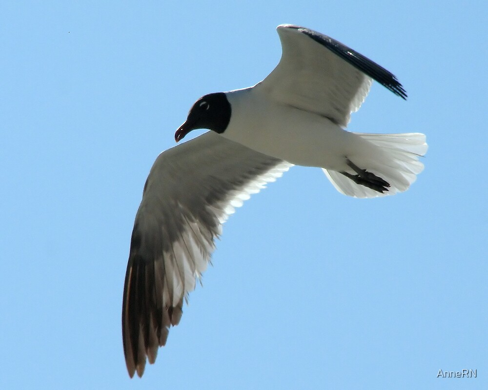 Seagull in Flight by AnneRN