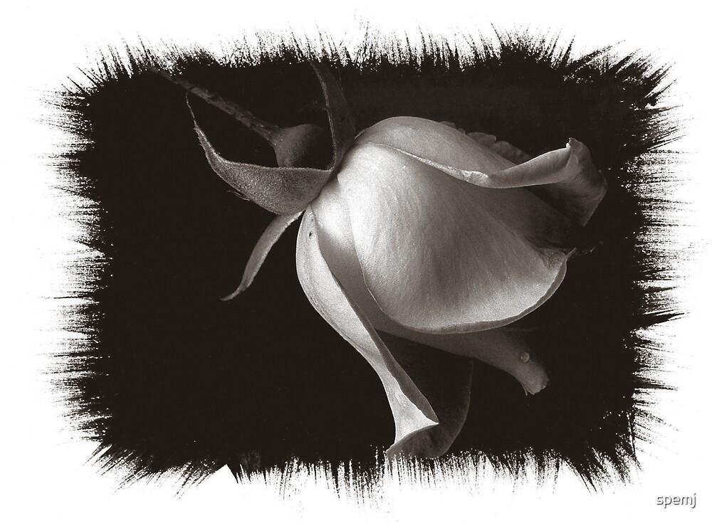Rose ll by spemj