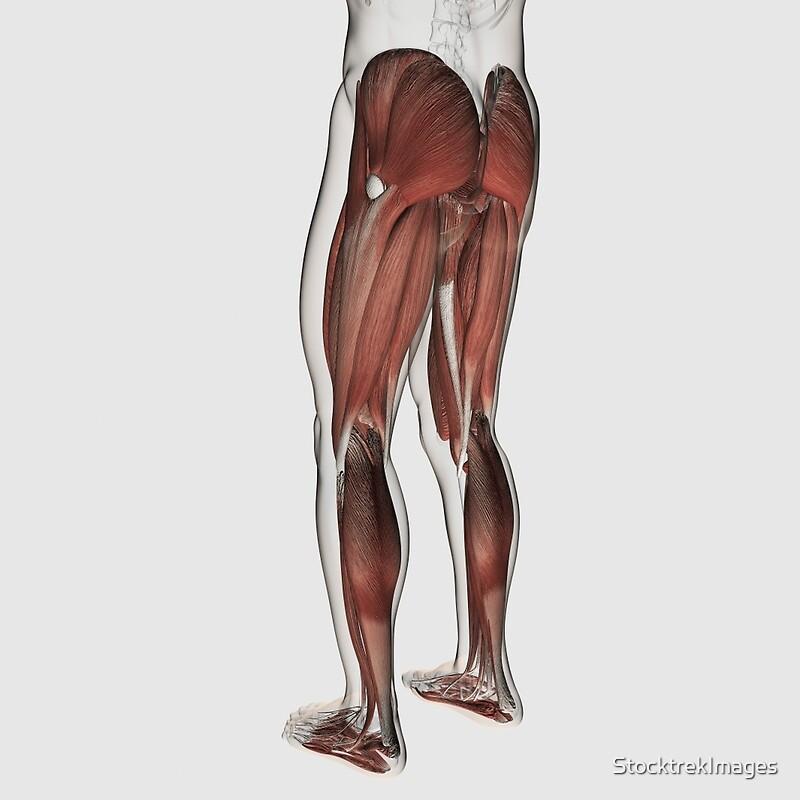 Tarjetas de felicitación «Anatomía del músculo masculino de las ...