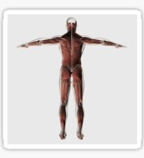 Anatomy of male muscular system, posterior view. Sticker