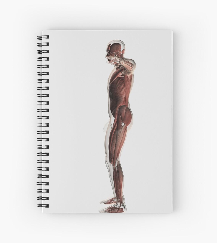 Cuadernos de espiral «Anatomía del sistema muscular masculino, vista ...