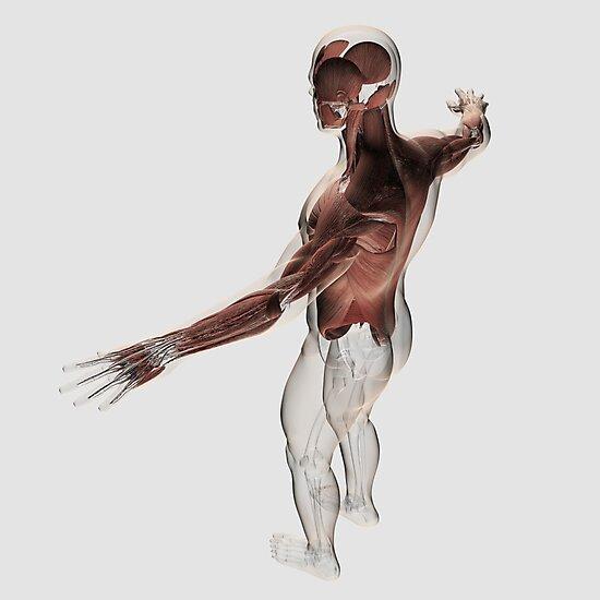 Láminas fotográficas «Anatomía de los músculos masculinos en la ...