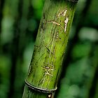Bamboo by Matthew Bonnington
