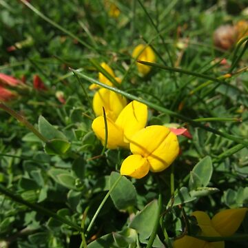 Bird's-foot trefoil by IOMWildFlowers