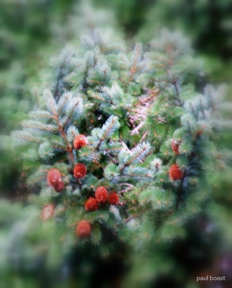 Fir Tree Cones by paul boast
