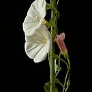 White morning glory by jim west