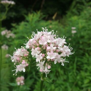 Common valerian by IOMWildFlowers