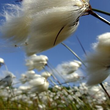 Cotton grass by IOMWildFlowers