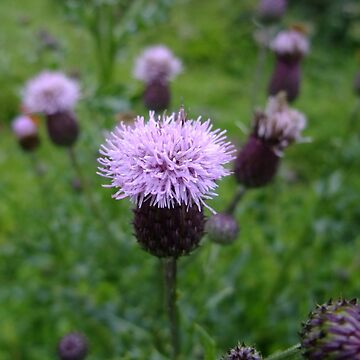 Creeping thistle by IOMWildFlowers