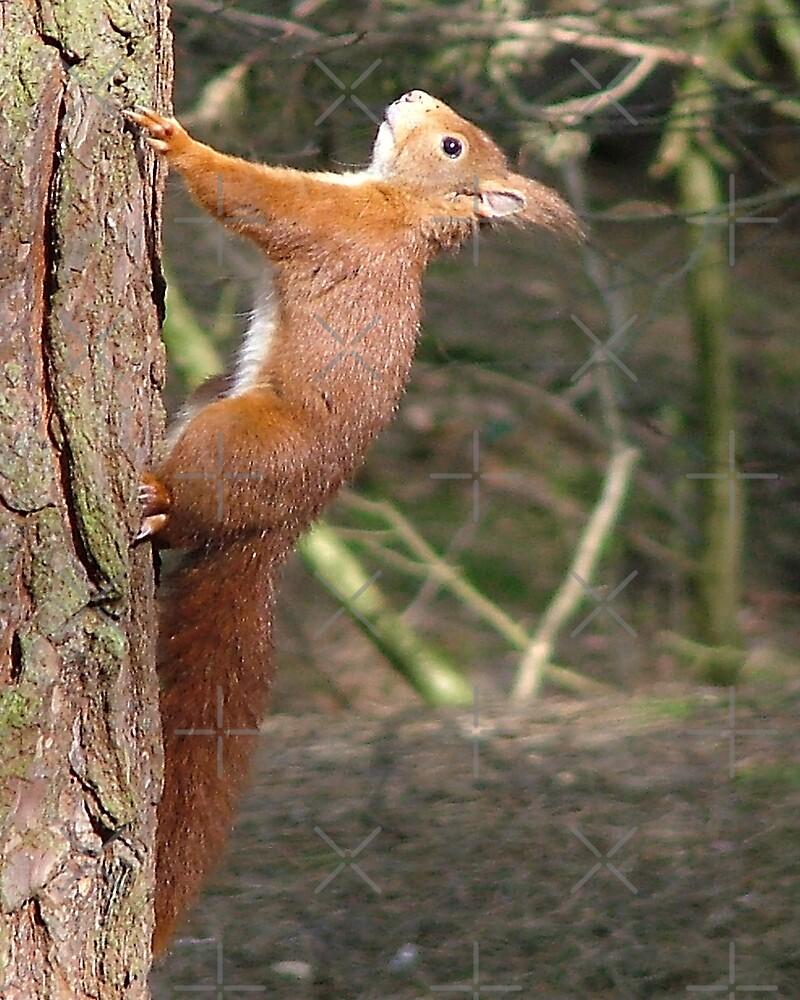 Red Squirrel by mervynw