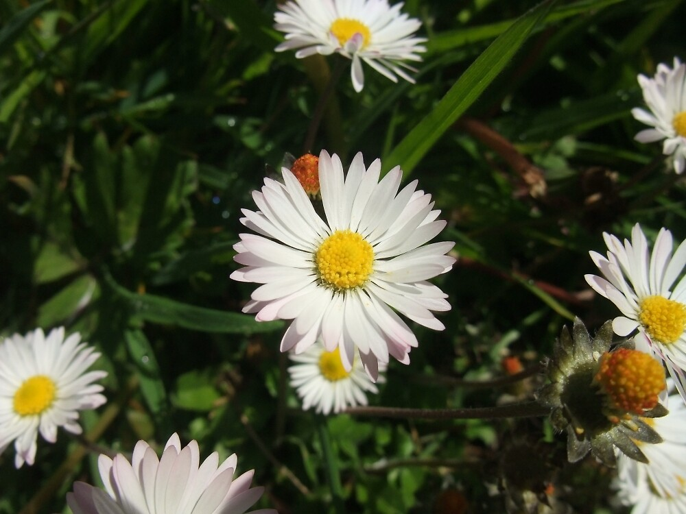 Common daisy by IOMWildFlowers
