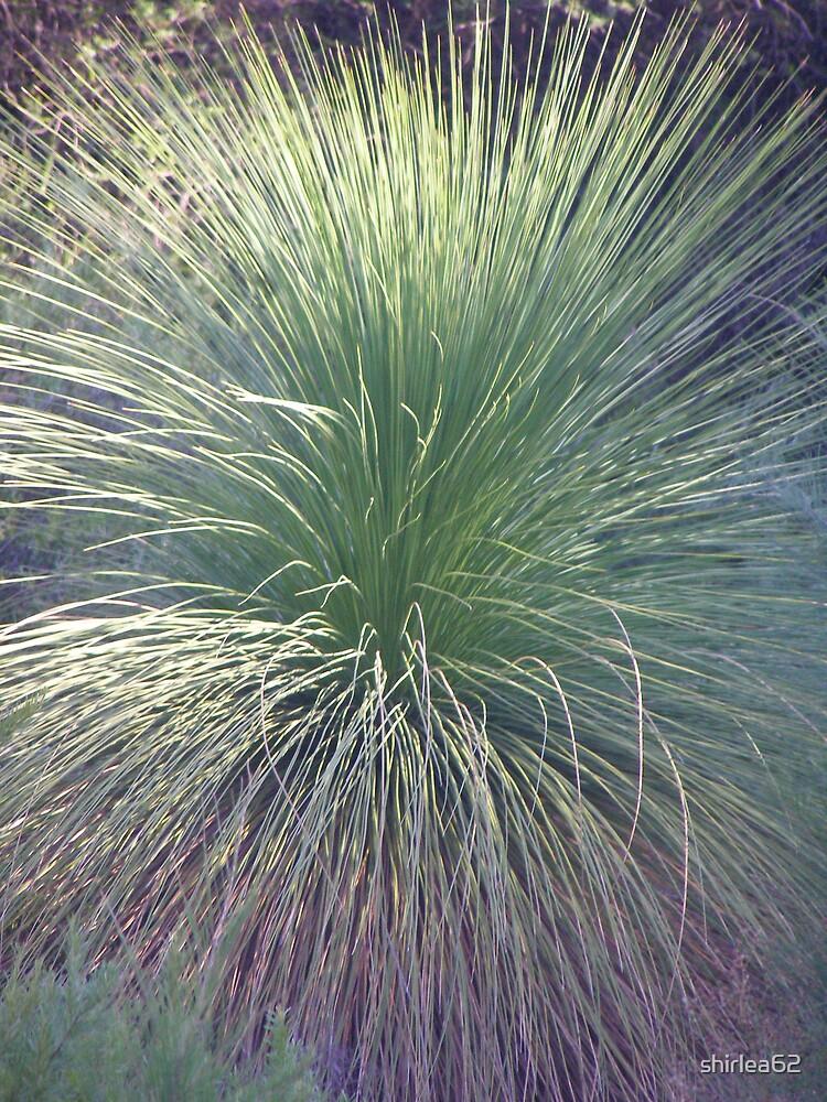 Grass Tree by shirlea62