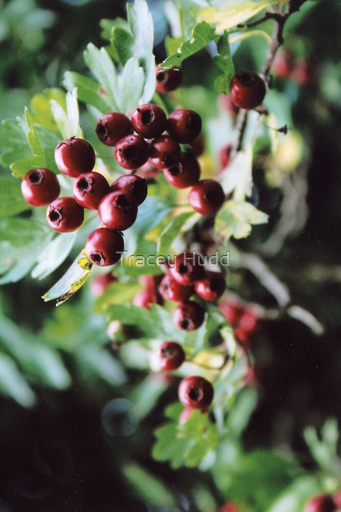 Berries by Tracey Hudd