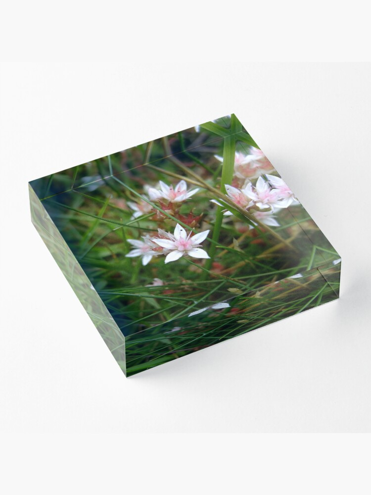 Alternate view of English stonecrop Acrylic Block