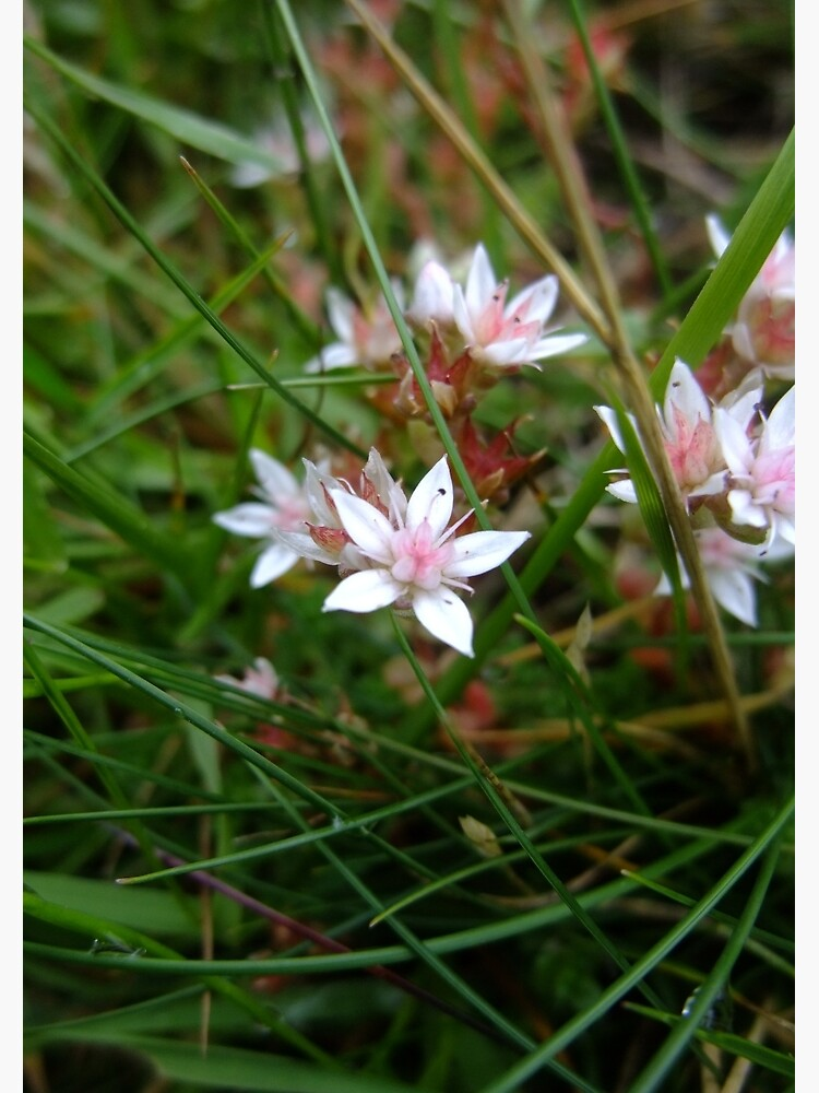 English stonecrop by IOMWildFlowers