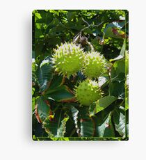 Chestnuts autumn // fall Canvas Print