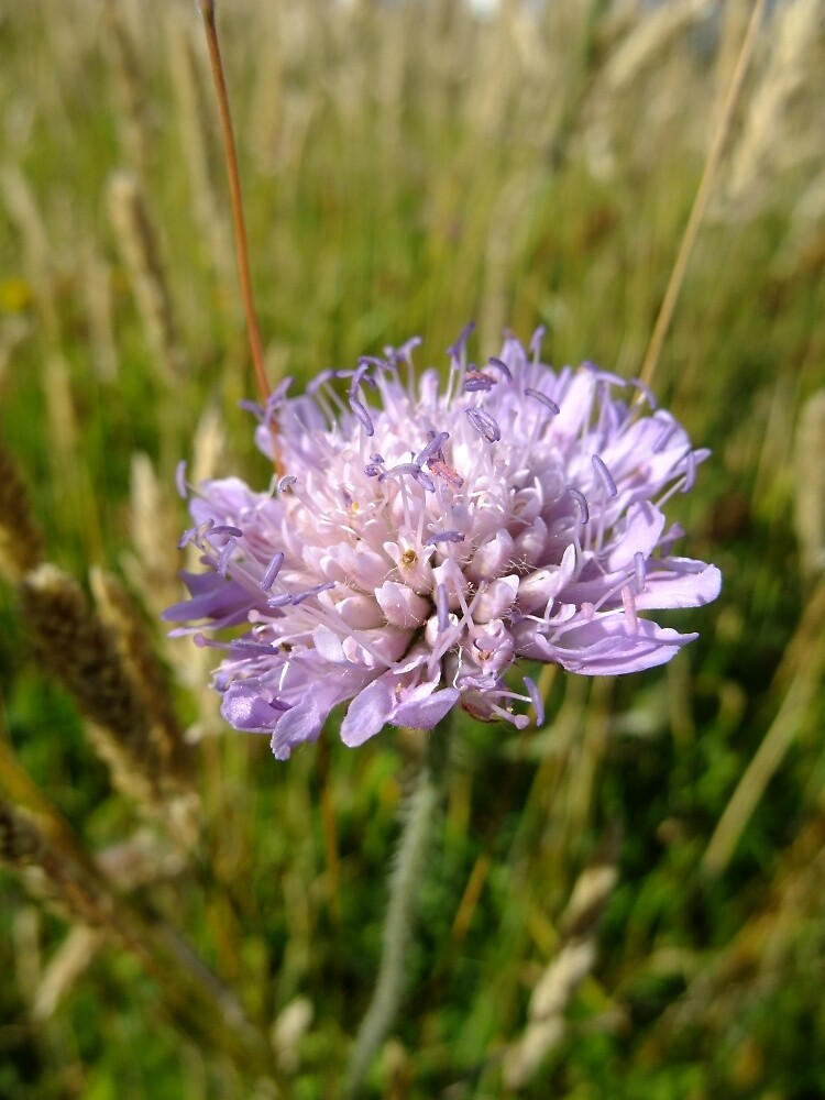 Field scabious by IOMWildFlowers