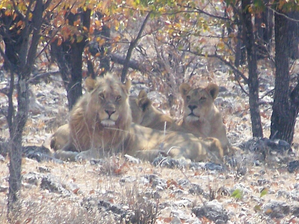 Lions relaxing under a tree by tj107