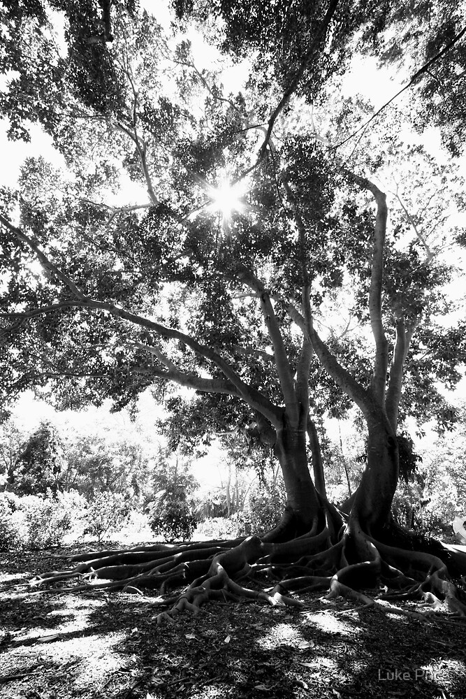 Banyon Tree by Luke Price