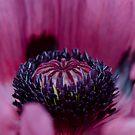 Poppy flower macro by Viv van der Holst