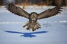 In your face - Great Grey Owl by Jim Cumming