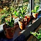 Jade Plants in Greenhouse by Susan Savad