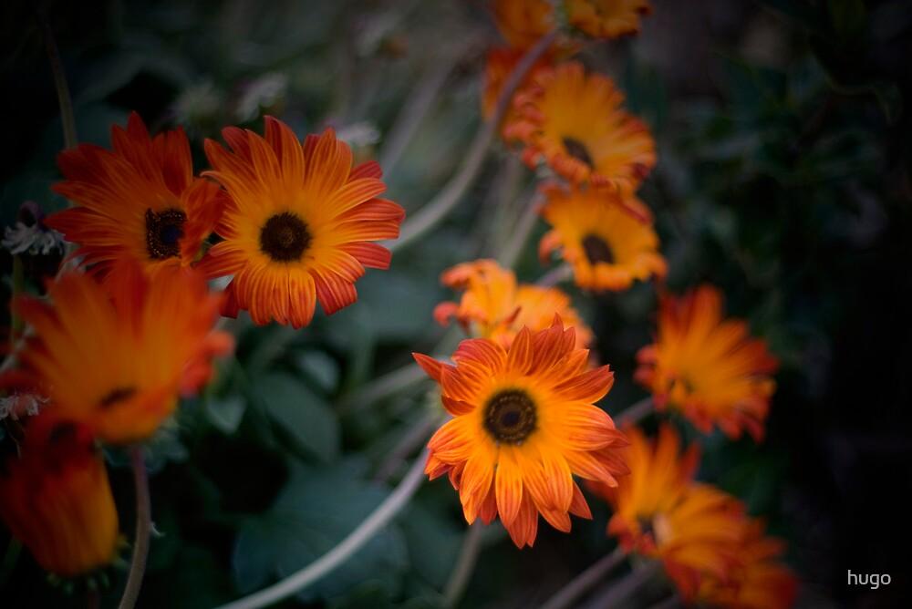 Daisys, Daisys, Daisys by hugo