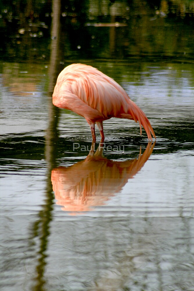 Reflections in Pink by Paul Reay