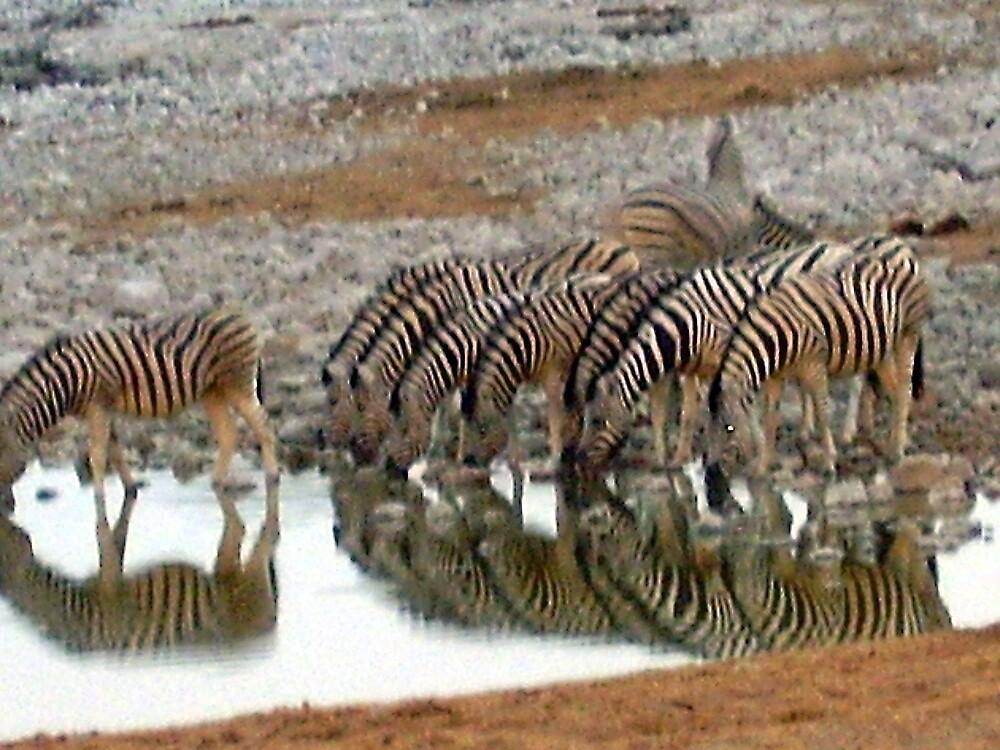 zebras drinking by mj007