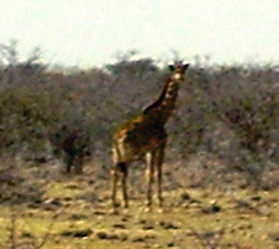 giraffe by mj007