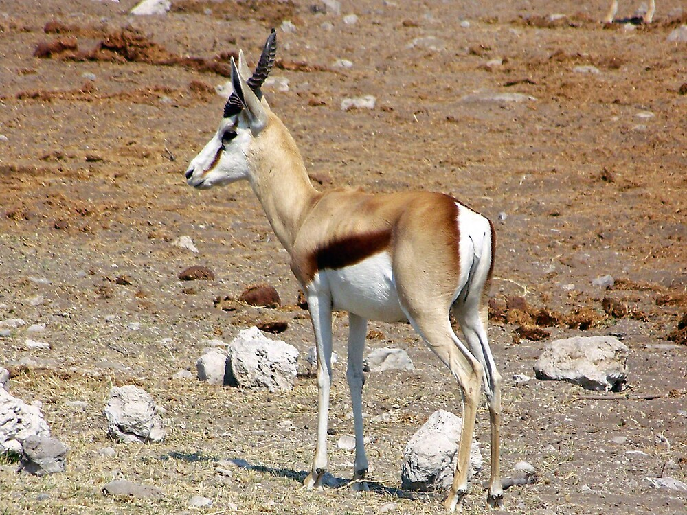 Springbok by tj107