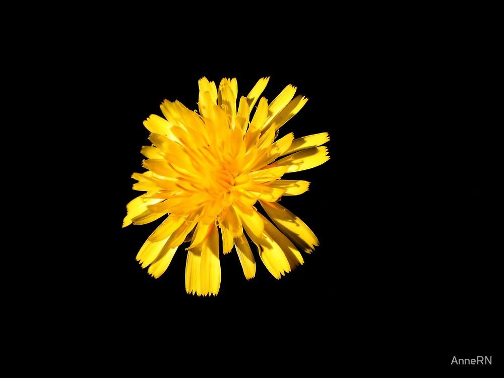 Dandelion by AnneRN