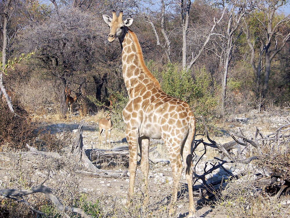 Giraffe  by tj107