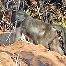 Chacma Baboon by tj107