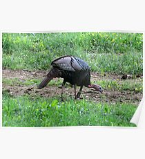 Eastern Wild Turkey Poster