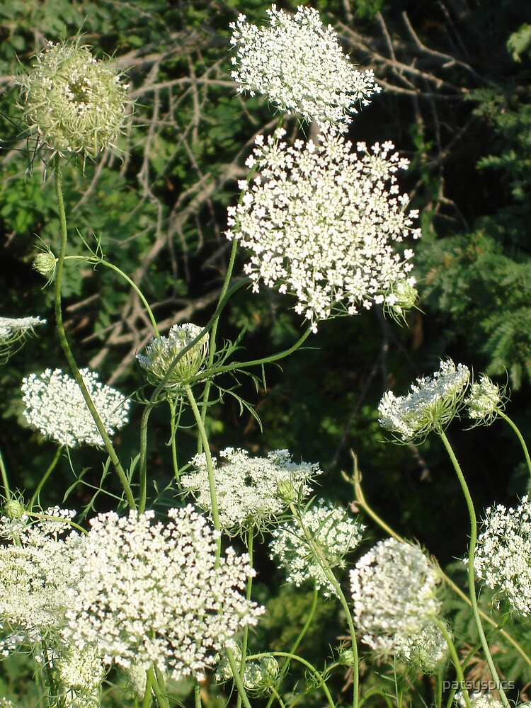 Queen Anne's Lace by patsyspics