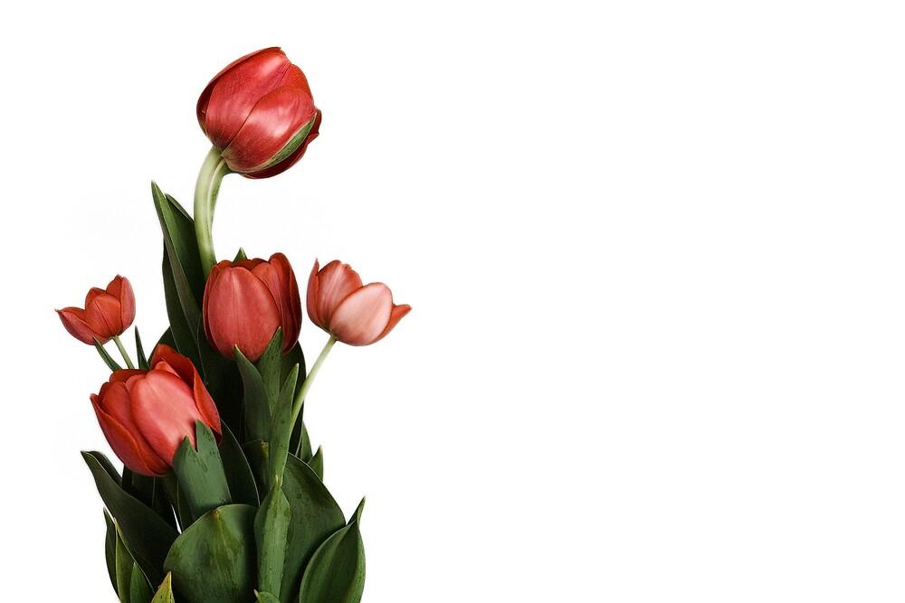 Red Tulip by Daniel  Speranza