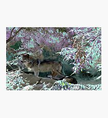 Pack Wolf Photographic Print