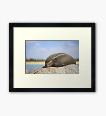Sleepy Fur Seal Framed Print