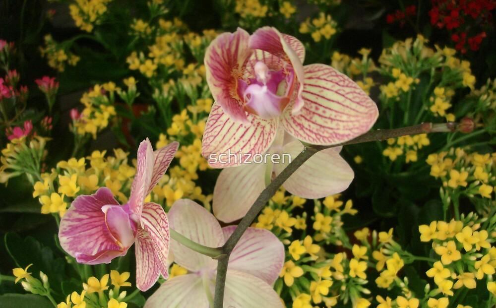 O orchid by schizoren