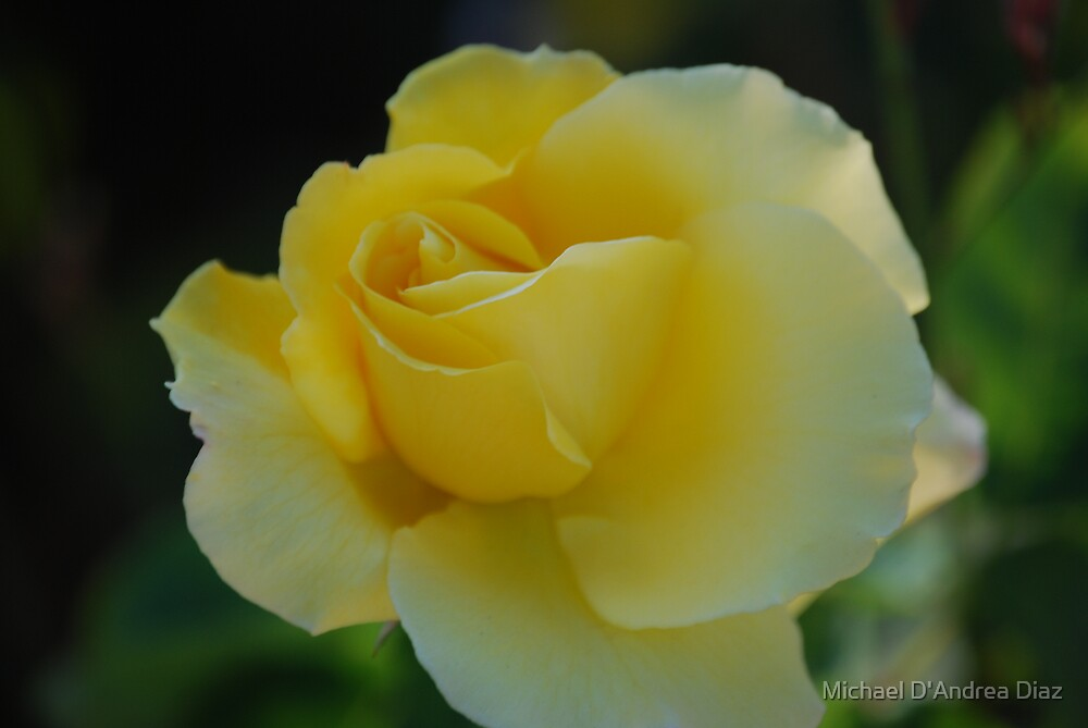 Yellow Rose by Michael D'Andrea Diaz