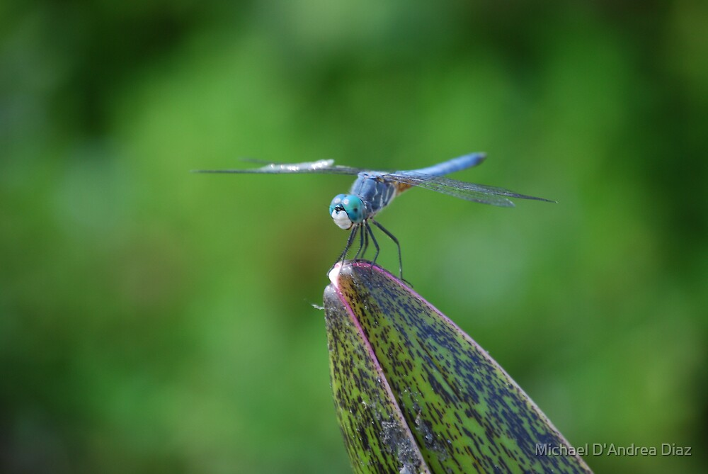 Dragonfly by Michael D'Andrea Diaz