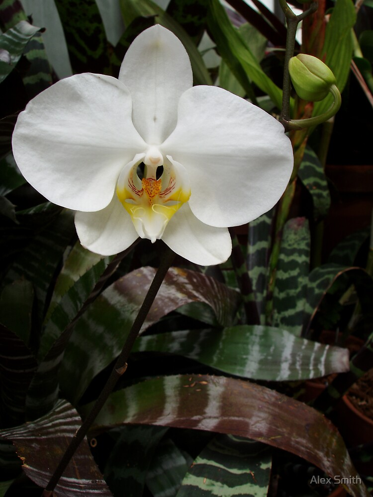 Moth orchid by Alex Smith