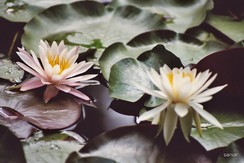 Lily by sarsar