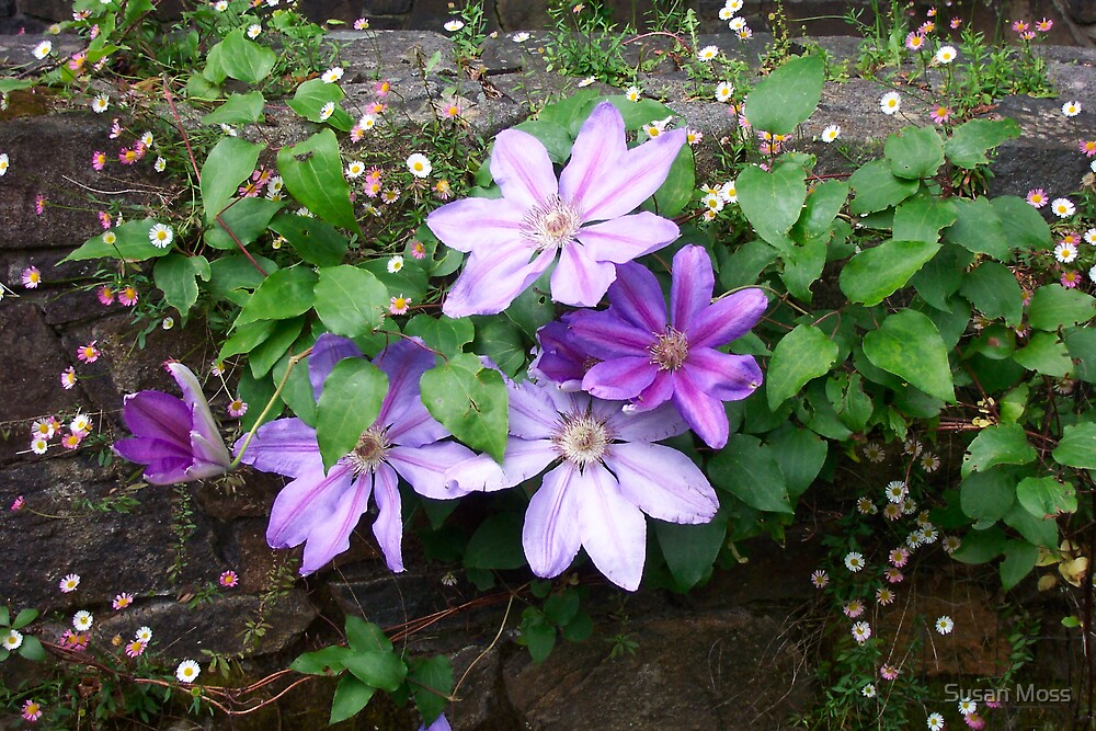 Mauve Clematis by Susan Moss