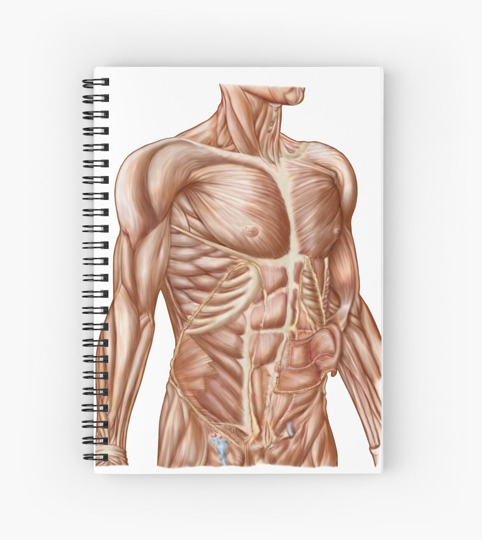 Cuadernos de espiral «Anatomía de los músculos abdominales humanos ...