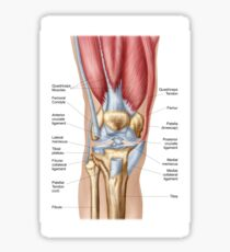 Anatomy of human knee joint. Sticker