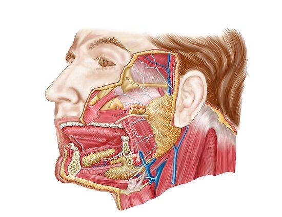 Pósters «Anatomía de las glándulas salivales humanas.» de ...