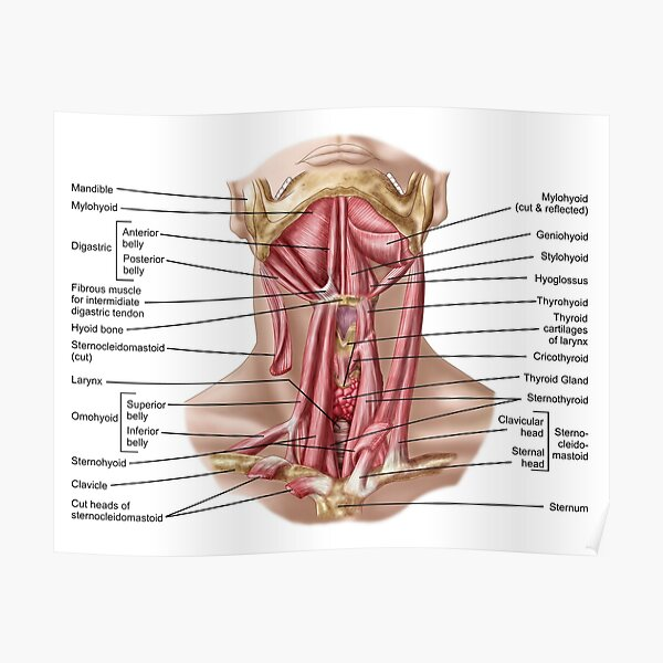 Anatomy of human hyoid bone and muscles, anterior view. Poster